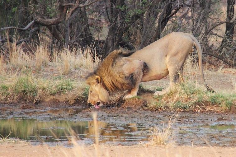 Lion-Krugerpark