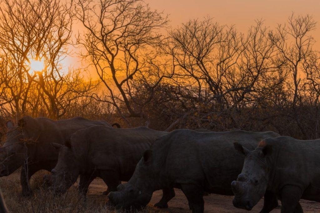 sun setting behind rhinos
