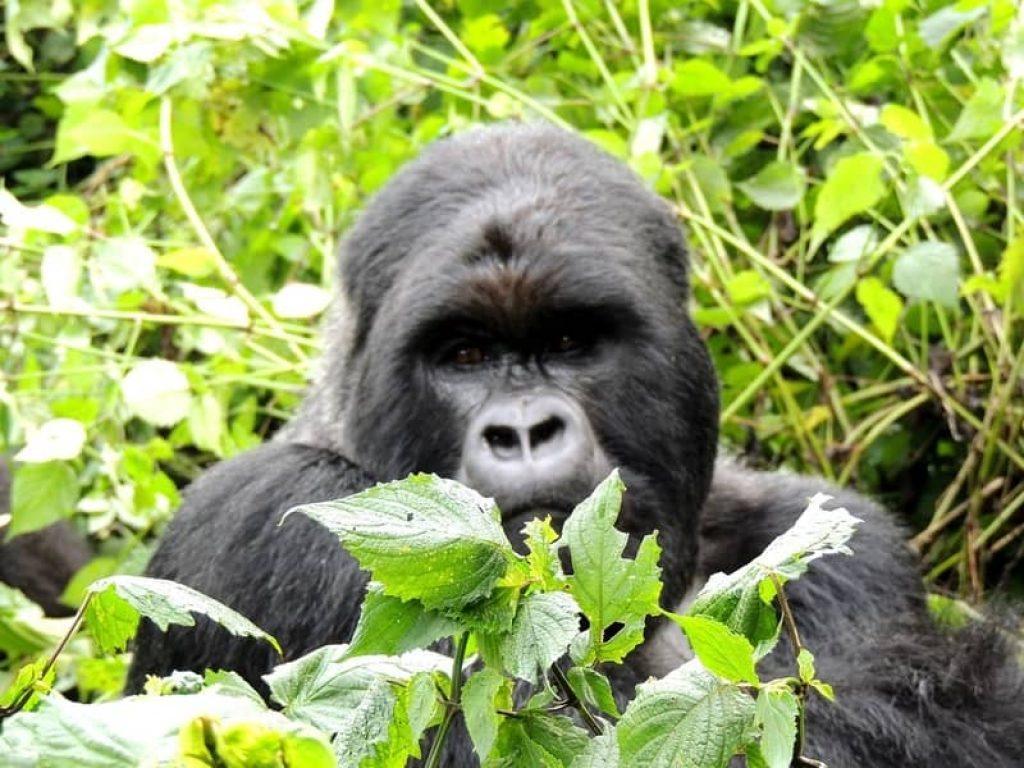 gorilla in the bush