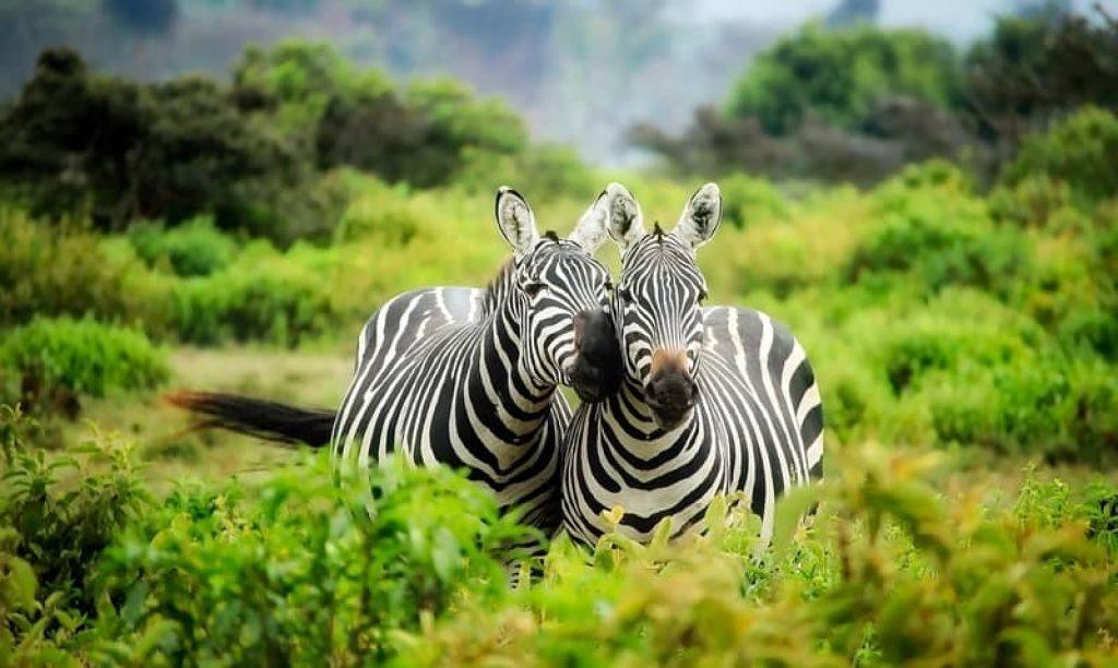 two zebras in the bush