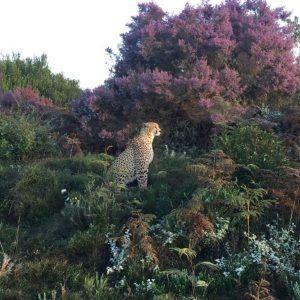 Tenikwa cheetah in the wild