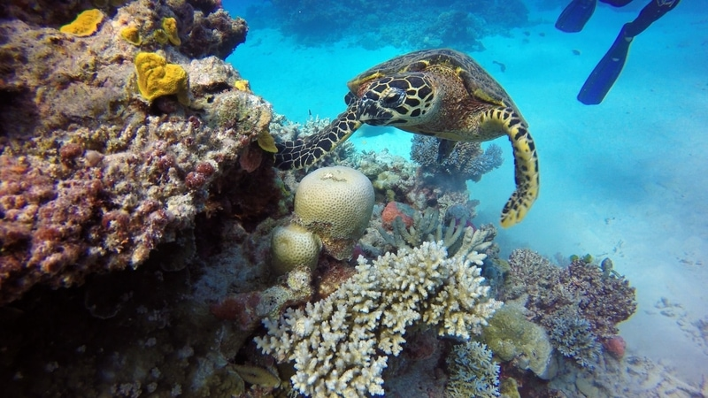 Turtle in the Great Barrier Reef