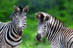 Full Day Guided Safari from Cape Town